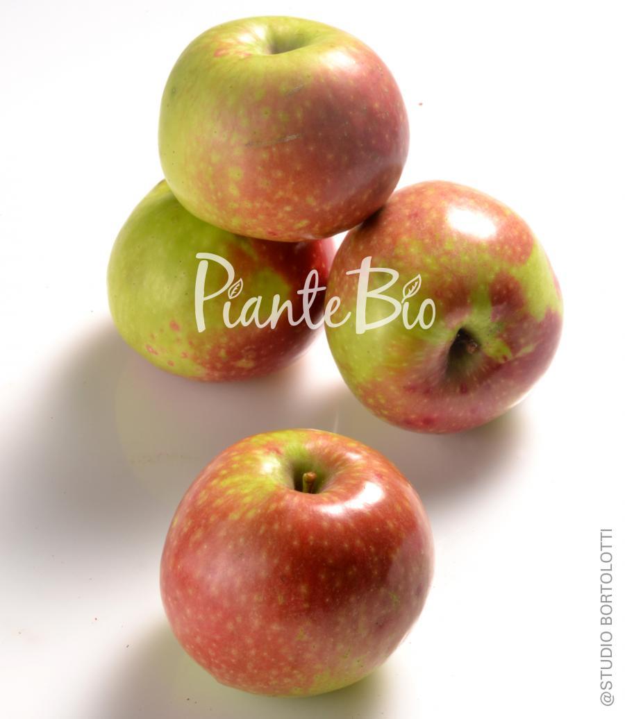 Mela campanina piante biologiche di melo piante da for Kiwi giallo piante acquisto