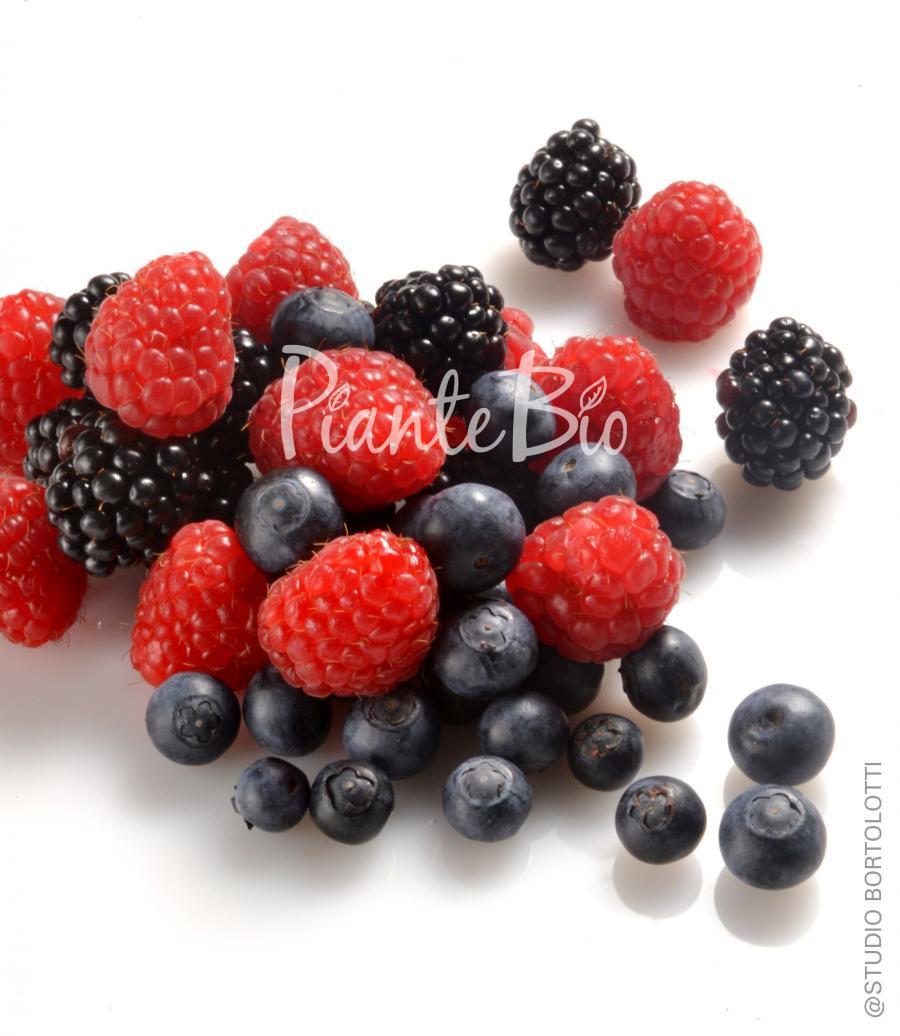 Lamponi piante bio di piccoli frutti piante da frutto for Piante di lamponi acquisto